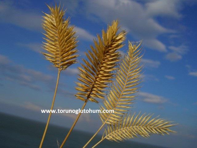 torunoglu seed